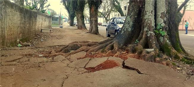 Árvore centenária em Cascavel (PR)